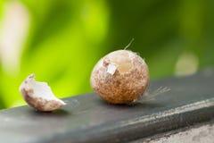 Яичка птицы украденные от что-то Пришл к стробу, естественному backg стоковое фото rf
