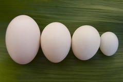 Яичка различных птиц: гусыня, утка, цыпленок и голубь Стоковая Фотография