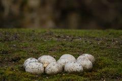 Яичка страуса Стоковые Фотографии RF