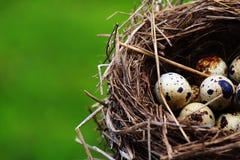 Яичка триперсток в гнезде на предпосылке травы Стоковые Изображения