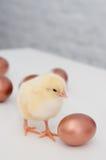 яичка цыпленоков Стоковые Изображения RF