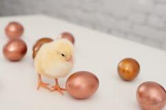 яичка цыпленоков Стоковые Фотографии RF