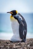 Яичко нося пингвина короля на пляже гонта Стоковое Фото