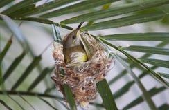 Яичко птицы насиживая Стоковое Изображение
