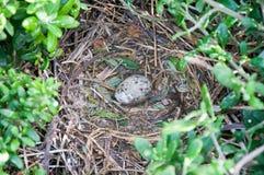 Яичко чайки моря младенца Стоковые Изображения