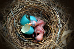 Яйц из гнезда птицы Стоковые Фотографии RF