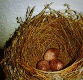 Яйц из гнезда Стоковая Фотография RF