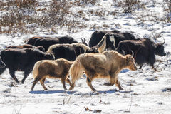 Яки в прерии снега большой возвышенности Стоковые Фото