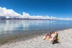 Яки лежа на береге озера Namtso Стоковое Изображение RF