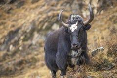 Яки или выгон nak на холмах травы в Гималаях стоковое изображение