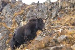 Яки или выгон nak на холмах травы в Гималаях стоковые фото