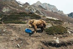 Яки на горе в Annapurna обходят вокруг, Гималаи, Непал Стоковая Фотография RF