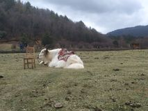 Яки на траве стоковые фотографии rf