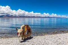 Яки стоя на береге озера Namtso Стоковое Изображение RF