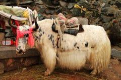 яки тибетца коровы Стоковое Изображение RF