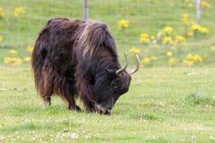 Яки (grunniens быка) стоковая фотография rf