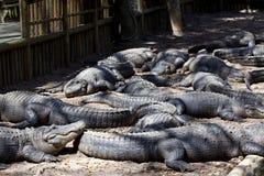 яма аллигаторов аллигатора лежа Стоковые Изображения RF