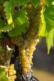 янтарные виноградины Стоковые Изображения RF