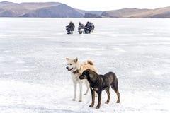 Японец Акита и собака шавки на Lake Baikal в зиме во время рыбной ловли льда Стоковое фото RF