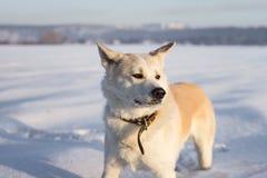 Японец Акита Inu собаки стоит в снежном поле Стоковые Фотографии RF