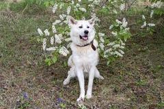 Японец Акита Inu с цветя вишневым деревом весной в лесе Стоковые Фото