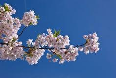 японец вишни ветви Стоковое Изображение