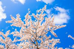 японец вишни цветений против детенышей весны цветка принципиальной схемы предпосылки белых желтых Стоковые Изображения