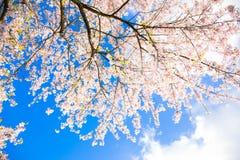 японец вишни цветений против детенышей весны цветка принципиальной схемы предпосылки белых желтых Стоковое Изображение RF