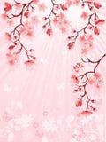 японец вишни цветения Стоковые Изображения RF