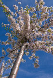 японец вишни Стоковое Фото