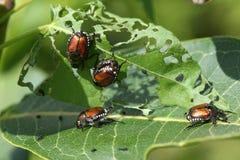 японец жука стоковые фото