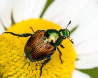 японец жука Стоковое Изображение