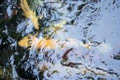 Японец оправляется природа животных аквариума рыб Стоковые Фото