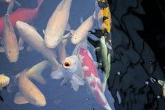 Японец оправляется природа животных аквариума рыб Стоковая Фотография RF