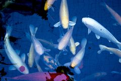 Японец оправляется природа животных аквариума рыб Стоковые Фотографии RF