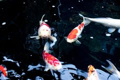 Японец оправляется природа животных аквариума рыб Стоковые Изображения RF