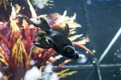 Японец оправляется природа животных аквариума рыб Стоковые Изображения