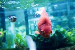 Японец оправляется природа животных аквариума рыб Стоковое Изображение RF