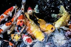 Японец оправляется рыбы золота желтые оранжевые животные естественные красочные Стоковая Фотография RF