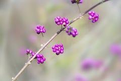 Японец Beautyberry, Стоковая Фотография RF