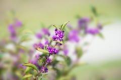 Японец Beautyberry, Стоковые Изображения RF