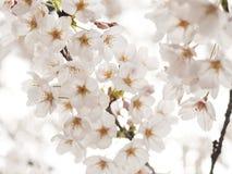 японец sakura вишни цветения стоковое фото rf