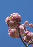 японец sakura вишни цветения стоковая фотография
