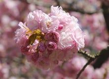 японец sakura вишни цветения стоковое изображение rf