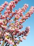 японец sakura вишни цветения Стоковые Изображения