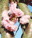 японец sakura вишни цветения Стоковое Фото
