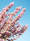 японец sakura вишни цветения Стоковые Фотографии RF