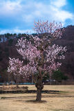 японец sakura вишни цветения стоковое изображение
