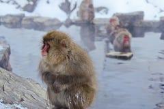 Япония, обезьяны Стоковые Изображения