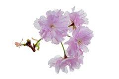 Японская вишня (serrulata сливы) Стоковые Фото